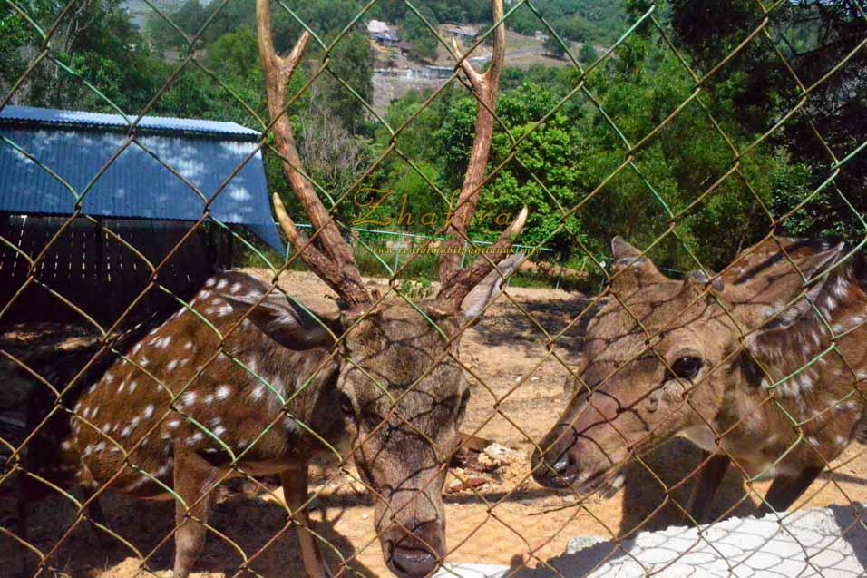binatang rusa, wisata singkawang, sinka zoo, tanjung bajau