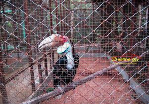 burung enggang gading
